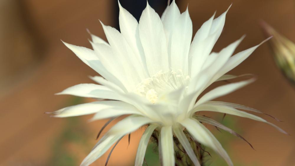 Kaktusový květ